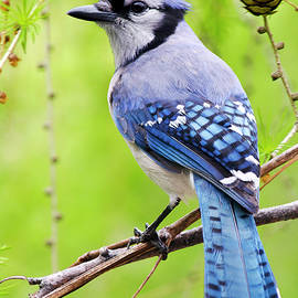 Christina Rollo - Blue Jay Bird