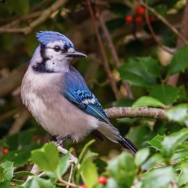 Blue Jay On Holly by Morris Finkelstein