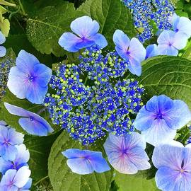 Blue Lace Cap  by Alida M Haslett