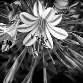 Blue Lilies In Black And White by Carolyn Marshall