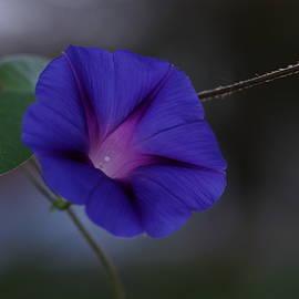 Carrie Goeringer - Blue Morning Glory