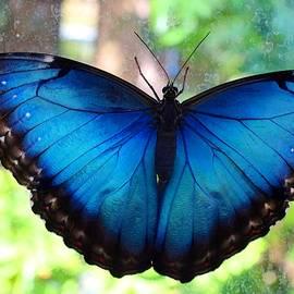 Kathryn Meyer - Blue Morpho Butterfly