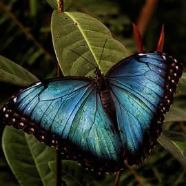 Ruth Jolly - Blue Morpho on leaves