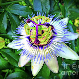 Blue Passion Flower by Sue Melvin