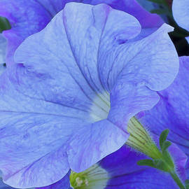 Sandra Foster - Blue Petunia Blossom