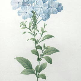 Pierre Joseph Redoute - Blue Plumbago or Leadwart