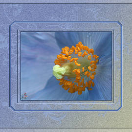 Blue Poppy - Meconopsis by Patricia Whitaker