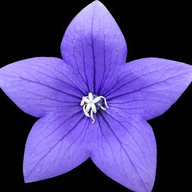Blue Purple Single Beauty by Johanna Hurmerinta