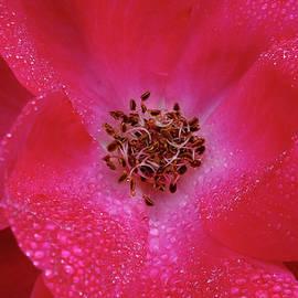 Blue Ridge Rose by Bill Morgenstern