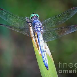 Blue Skimmer by Mitch Shindelbower
