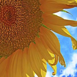 George D Gordon III - Blue Sky Sunflower