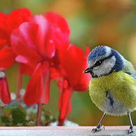 Blue Tit And Red Flowers by Nicola Fusco