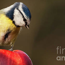 Blue Tit Cyanistes caeruleus sat on a red apple looking down by Simon Bratt Photography LRPS