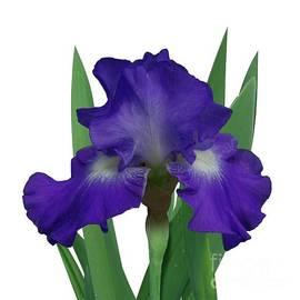 R V James - Blue-violet Iris, Stellar Lights