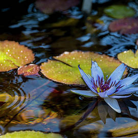 Brian Harig - Blue Water Lily Pond