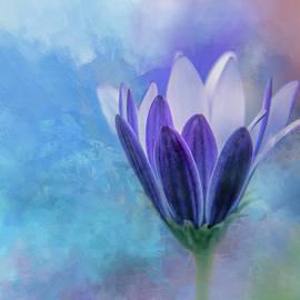 Terry Davis - Blue White Daisybush