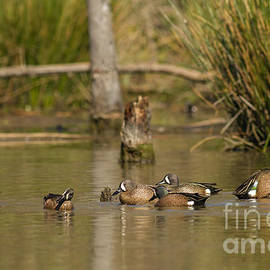 David Cutts - Blue-winged Teal