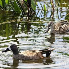 Chuck Hicks - Blue Winged Teal Duck