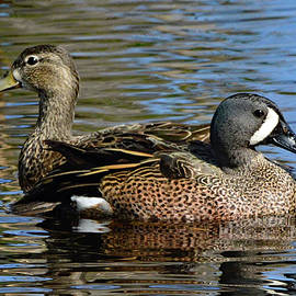 Blue Winged Teal Pair by Jerry Griffin
