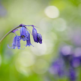 Sarah-fiona Helme - Bluebell Beauty