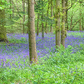Bluebells by Andrew Wilson