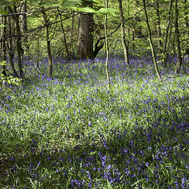 Bluebells flowering in wood beside former colliery tramway now footpath  Poynton Cheshire England