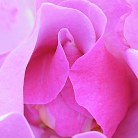 Regina Geoghan - Blueberry Hill Rosebud