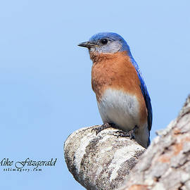 Bluebird And Blue Sky by Mike Fitzgerald