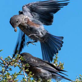 Bluebird Leapfrog - Mike Dawson