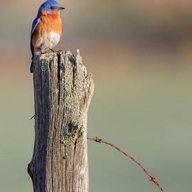 Bill Wakeley - Bluebird Portrait