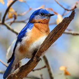 Dianne Cowen - Bluebird Watch