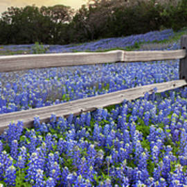 Rob Greebon - Bluebonnets along a Wooden Fence Panorama 1