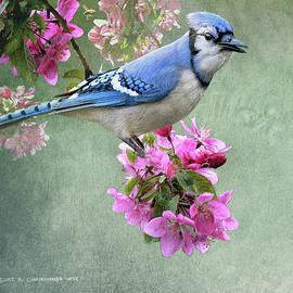 R christopher Vest - Bluejay On Spring Blossoms