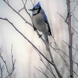 Tracy Bell - Bluejay0002