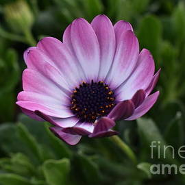Yenni Harrison - Blushed flower