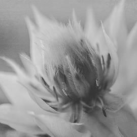 Blushing Bride - Black and White Version by Teresa Wilson