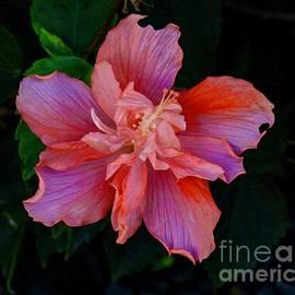 Craig Wood - Blushing Hibiscus