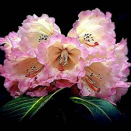 Blushing Rhododendron by Toni Abdnour