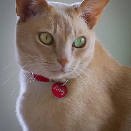 Bobby The Burmese Cat by Jenny Setchell