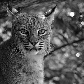 Bobcat In Black And White by Jesse MacDonald