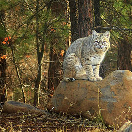 Bobcat On A Rock by James Eddy