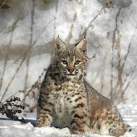 Bobcat Watercolor by Wildlife Fine Art