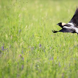 Bobolink In Flight by Bill Wakeley