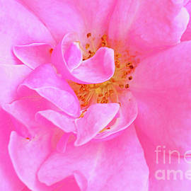 Bonica Rose Portrait by Regina Geoghan