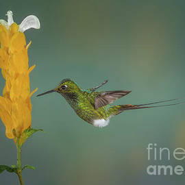 Jerry Fornarotto - Booted Rackettail Hummingbird