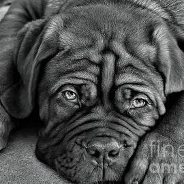 Greg Gregory - Bordeaux pup b-w