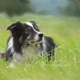Border Collie - DWP2189332 by Dean Wittle