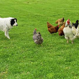 Border Collie Herding Chickens by Sally Weigand