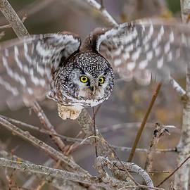Boreal Owl In Flight by Morris Finkelstein