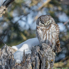 Boreal Owl Perched by Morris Finkelstein